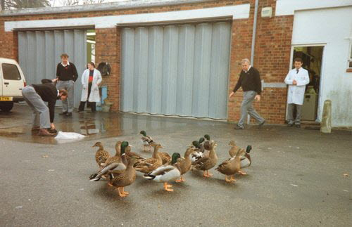 Cranbrook Ducks